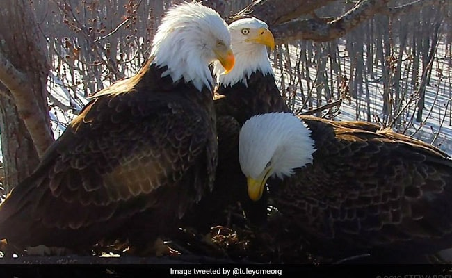 2 Dads, A Mom: Rare Trio Of Bald Eagles Raise Eaglet Together In A Nest