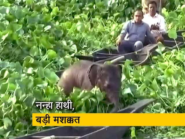 Video : तालाब में फंस गया नन्हा हाथी, बड़ी मशक्कत के बाद वनकर्मियों ने निकाला