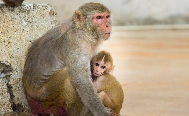 Chinese Scientists Add Human Brain Genes Into Monkeys