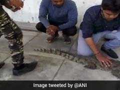 Crocodile Enters Gujarat Home To Drink Water, Caught After Two Hours