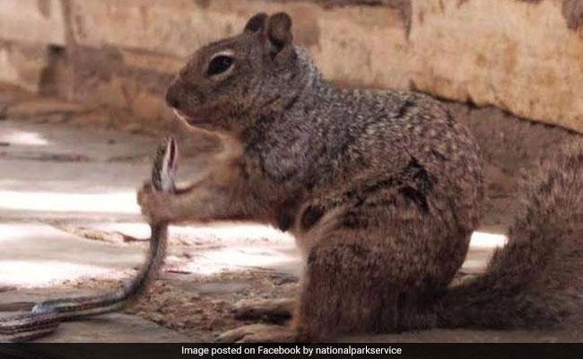 Viral Pic Of Squirrel Biting Snake Shocks Internet