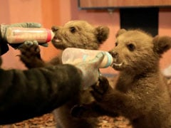 Orphaned Bear Cubs Bradley And Cooper Train For The Wild