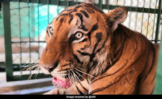 11-Year-Old Royal Bengal Tiger Dies Of  Cancer In Mumbai