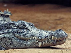 Crocodile Rescued From Millet Field In UP's Firozabad