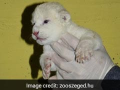 Rare White Lion Cub Makes First Appearance At Zoo. Pics Are Aww-Dorable