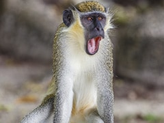 Thailand Begins Coronavirus Vaccine Trials On Monkeys