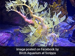 Watch: A Myth? A Leaf? Aquarium Displays Rare Sea Dragons