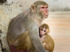Chinese Scientists Add Human Brain Genes Into Monkeys