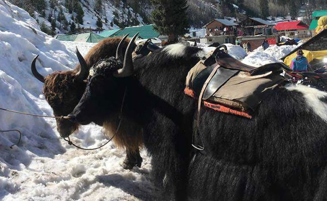 300 Yaks Die Of Starvation After Heavy Snowfall In Sikkim