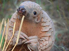 In African Forest, Research Project To Save Endangered Pangolin