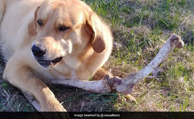 Bear 'Bribes' Guard Dog With Bones. Hilarious Story Is Viral On Twitter