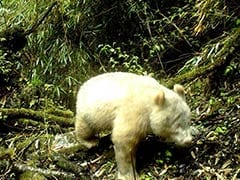 Rare All-White Albino Panda Caught On Camera In China