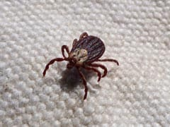 Bedbugs Are Older Than Bats, Evolved Around 50 Million Years Ago: Study