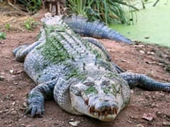 Schoolgirl Wrestles Crocodile, Gouges Its Eyes To Save Friend