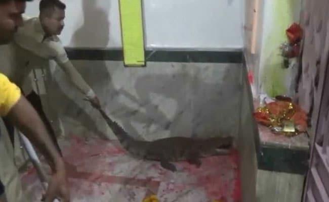 Crocodile Strays Inside Gujarat Temple, Devotees Call It 'Auspicious'