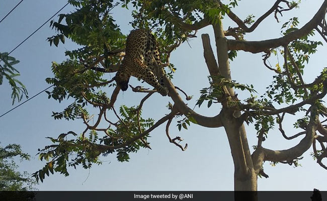 Leopard Electrocuted To Death In Gurgaon Village, Found Tangled Over Tree