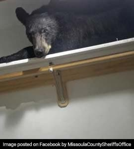 Viral Black Bear Breaks Into Home Takes A Nap In Closet
