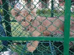 Exotic Monkeys, Lion Cub, Smuggled In Nylon Bags; Rescued In Bengal