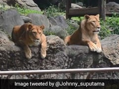 These Zoo Lions Had Priceless Reaction To Hilarious 'Escaped Lion' Drill