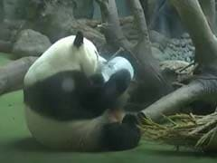 Pandas Beat The Heat Playing With Giant Ice Cubes. Watch Adorable Video