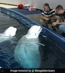 Captive Beluga Whales Make Epic Journey From China To Iceland Sanctuary