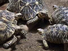 834 Star Tortoises, Meant For Smuggling To Bangladesh, Seized In Kolkata