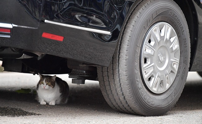 Larry The Cat Takes Shelter Under Trump's Limo, Refuses To Move