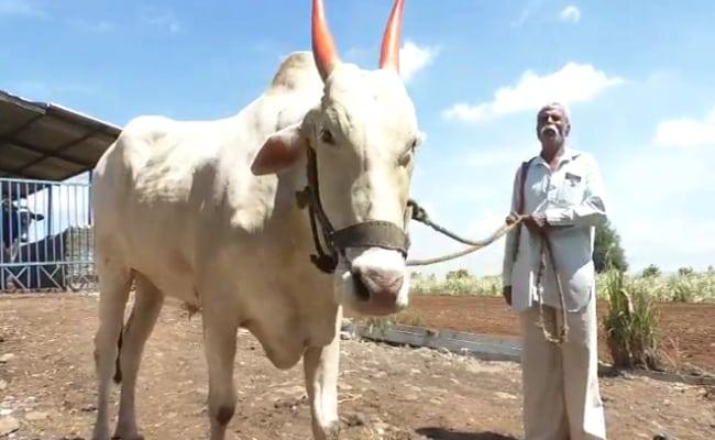 बड़ा खास है सांगली का यह बैल, अकेले ही घर से डेरी तक दूध पहुंचाकर आ जाता है वापस