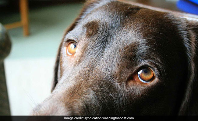 Dogs' eyes evolved to appeal to humans