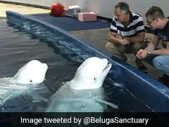Captive Beluga Whales Make Epic Journey From China To Iceland Sanctuary