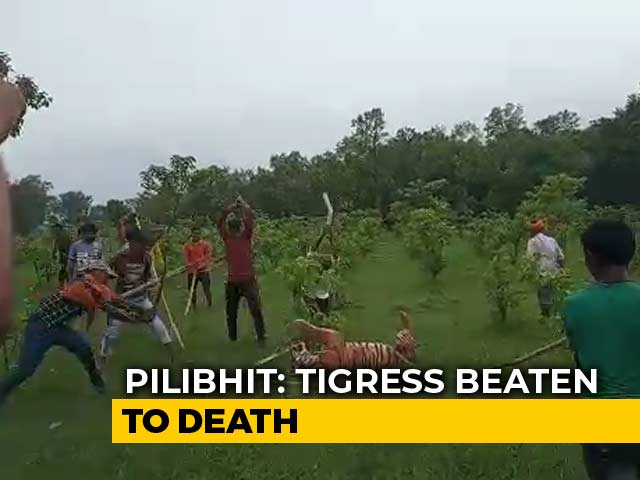 """Video : Tigress Beaten To Death In UP, Villagers Make Video With """"Commentary"""""""