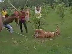 बाघिन को डंडे से पीट-पीटकर दी गई मौत, वीडियो बनाते हुए लोग करते रहे कॉमेंट्री... देखें