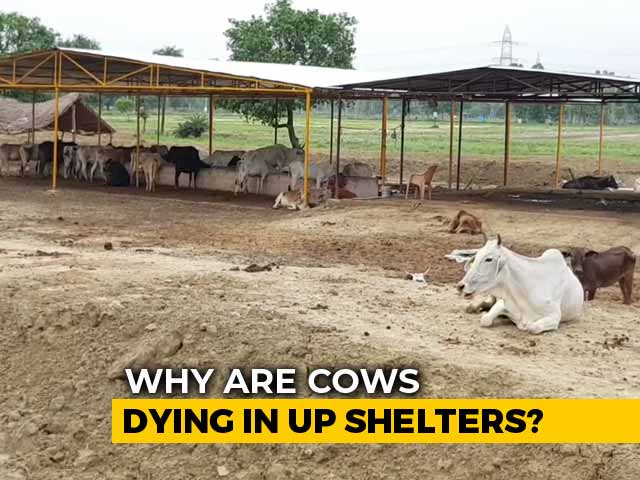 Video : Despite Rs. 600-Crore Budget, Cattle Deaths Cast Shadow Over UP Shelters