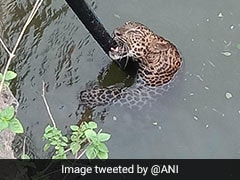 Watch: Leopard Rescued After He Falls Into Well In Pune District