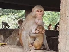 4-Month-Old Dies After Stone Dropped By Monkey Falls On Him