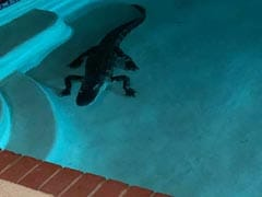 Woman Wakes Up To Find 7-Foot Alligator In Her Swimming Pool