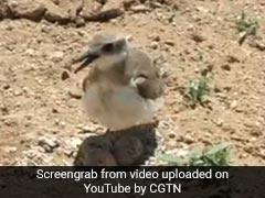 अंडों को ट्रैक्टर से बचाने के लिए चिड़िया खड़ी हो गई सामने, ऐसे बचाई बच्चों की जान, देखें VIDEO