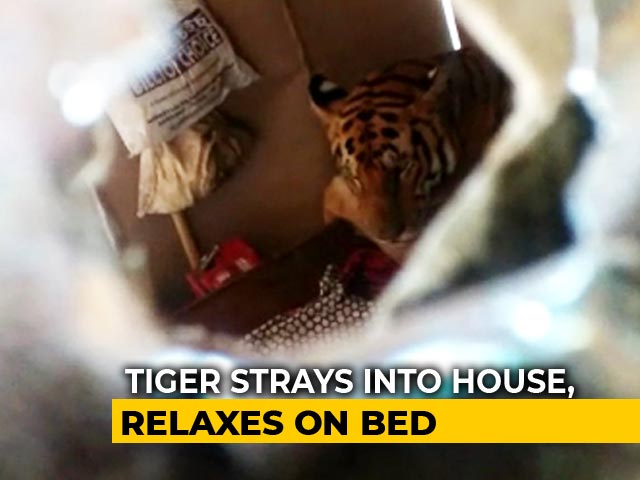 "Video : Tiger's ""Bed N Breakfast"" In Assam Home As Raging Waters Flood Kaziranga"