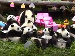 Watch: A Birthday Party For 18 Panda Cubs To Lift Your Monday Blues