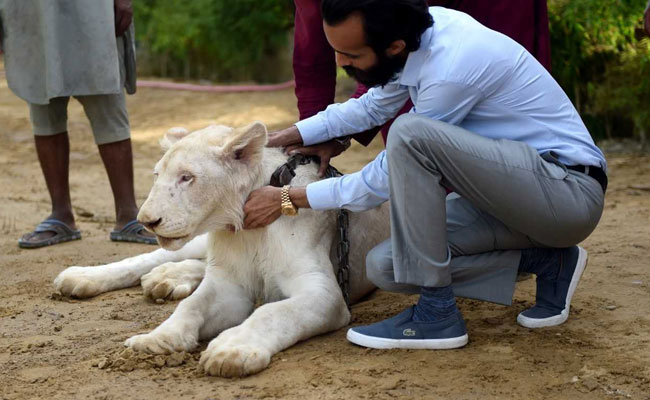 कराची में रईसी की निशानी है शेर पालना, 300 से ज़्यादा शेर पालतू हैं शहर में