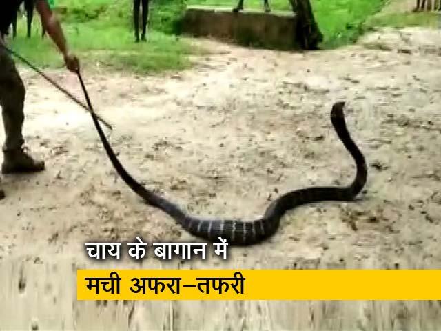 Video : असम में मिला 14 फुट का कोबरा, आस-पास के इलाकों में अफरा-तफरी का माहौल