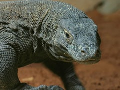 """""""Awesome Animal"""": Genome Study Finds Roots Of Komodo Dragon's Endurance"""