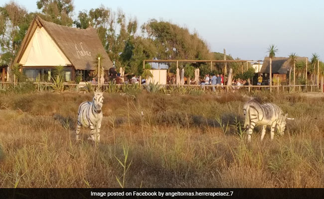 Donkeys Painted To Look Like Zebras For Safari-Themed Party Cause Outrage