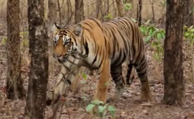 Tigress Found Dead In Forest Of Maharashtra's Chandrapur District