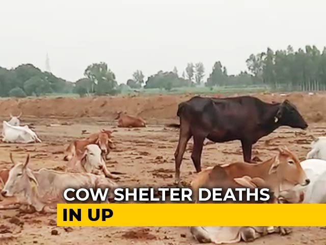 Video : Eight Officers Suspended In UP After Cows Found Dead At Cattle Shelters