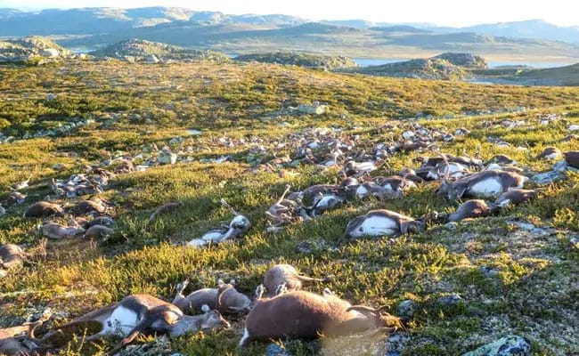 Over 200 Reindeer Found Dead In Norway, Researchers Blame Climate Change