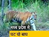 Video : कभी बाघों की संख्या में अव्वल रहा मध्य प्रदेश अब क्यों पिछड़ रहा है?