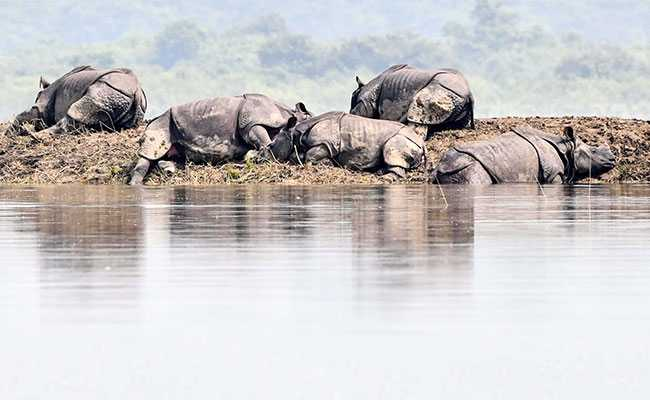 From Flood-Hit Assam, A Photo Of Rhinos Huddled On A Small Piece Of Land