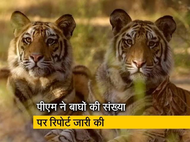 Video : NDTV ने शुरू की थी 'सेव द टाइगर' मुहिम, अब 20 राज्यों में बाघों की तादाद बढ़ी