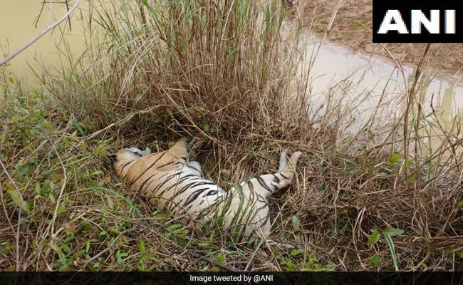 Tigress, 2 Cubs Found Dead In Maharashtra Forest